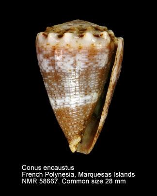 Conus encaustus