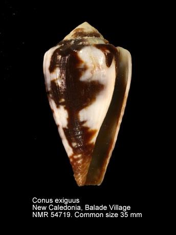 Conus exiguus