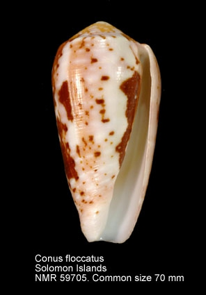 Conus floccatus