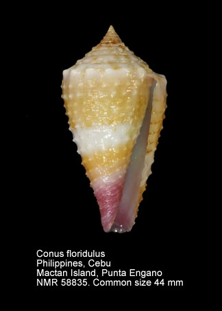 Conus floridulus