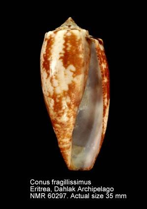 Conus fragilissimus
