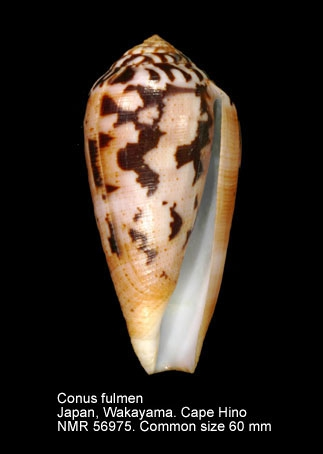 Conus fulmen