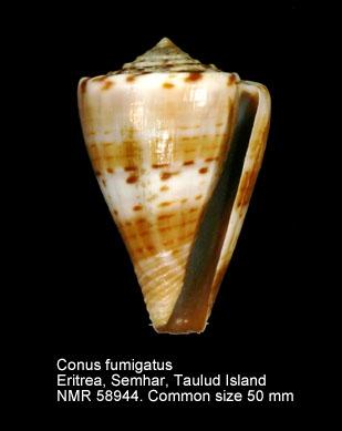 Conus fumigatus