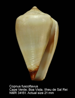 Conus fuscoflavus