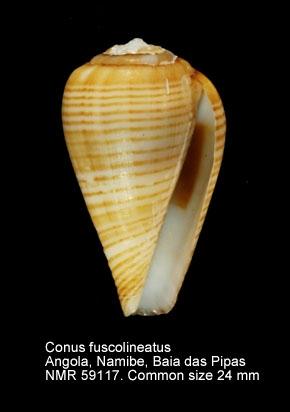 Conus fuscolineatus