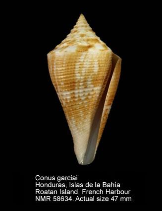 Conus garciai