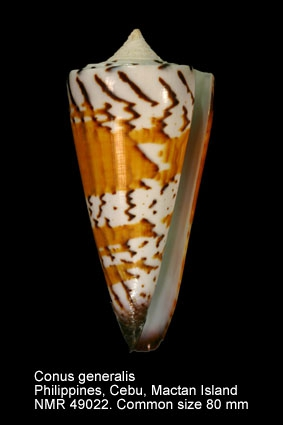 Conus generalis