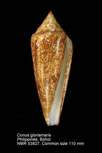Conus gloriamaris