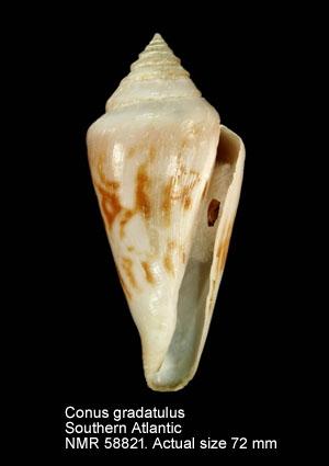 Conus gradatulus
