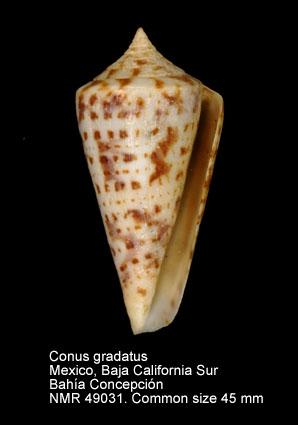 Conus gradatus