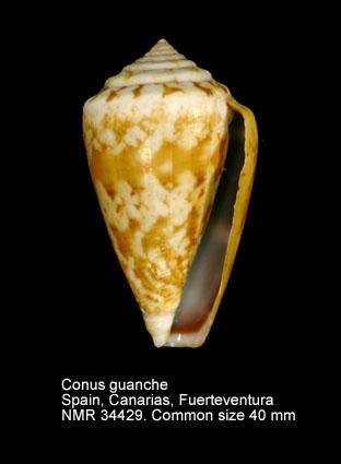 Conus guanche
