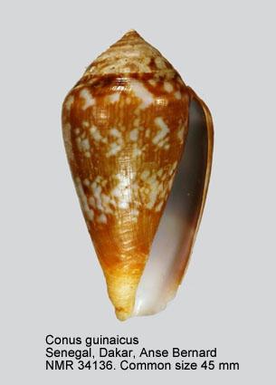 Conus guinaicus