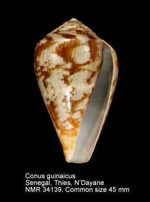 Conus guinaicus