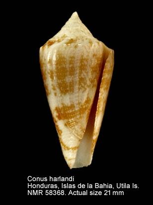 Conus harlandi