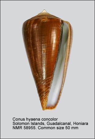 Conus hyaena