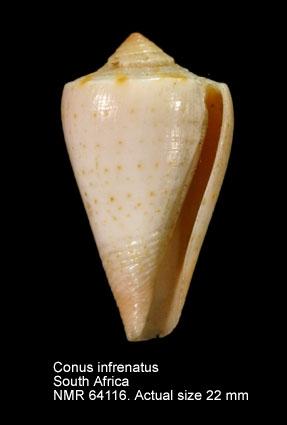 Conus infrenatus