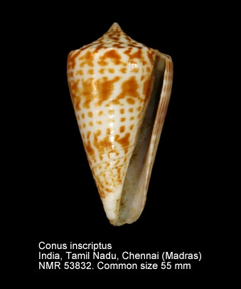 Conus inscriptus