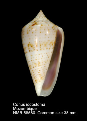 Conus iodostoma