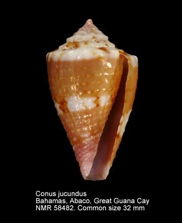 Conus jucundus