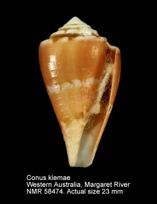 Conus klemae