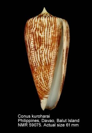 Conus kuroharai