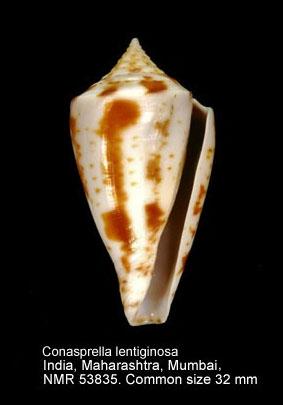 Conus lentiginosus