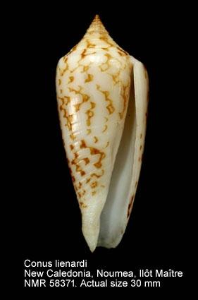 Conus lienardi