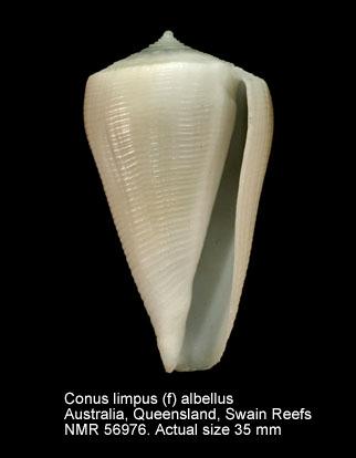 Conus limpusi