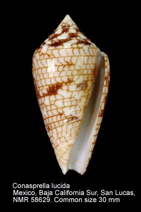 Conus lucidus