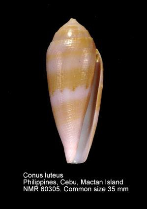Conus luteus