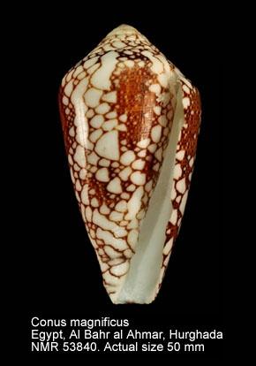 Conus magnificus