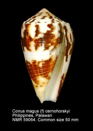 Conus magus