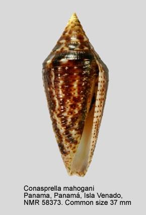 Conasprella mahogani