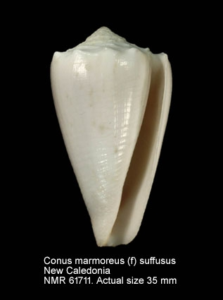 Conus marmoreus