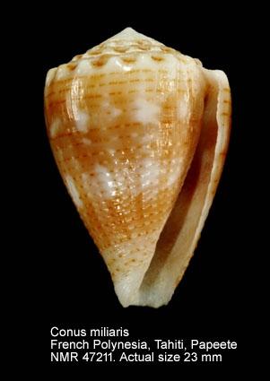 Conus miliaris