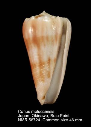 Conus moluccensis