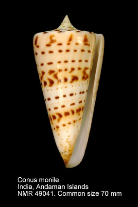 Conus monile