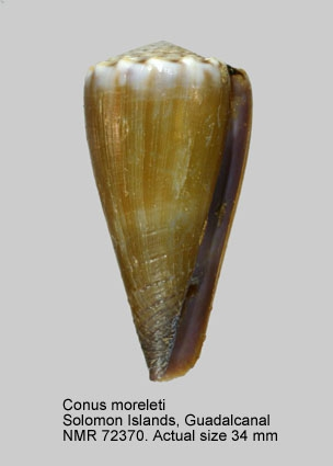 Conus moreleti