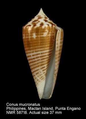 Conus mucronatus