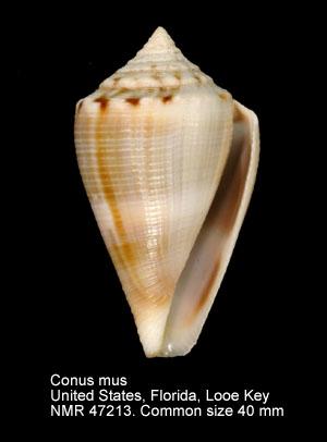 Conus mus
