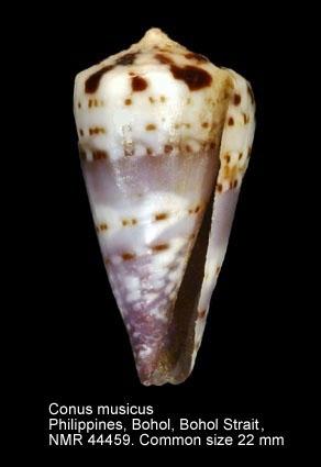 Conus musicus
