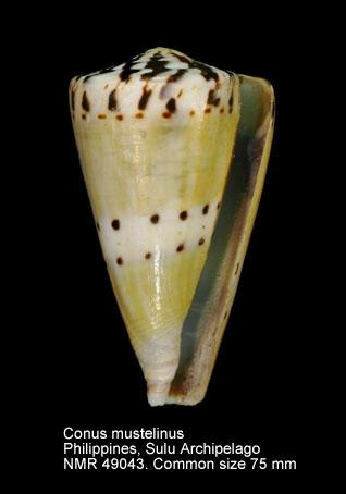 Conus mustelinus