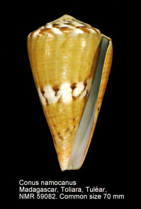 Conus namocanus