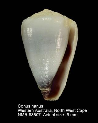 Conus nanus