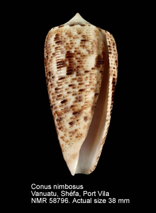 Conus nimbosus