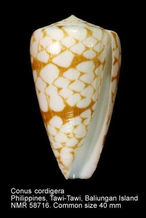 Conus nobilis bitleri