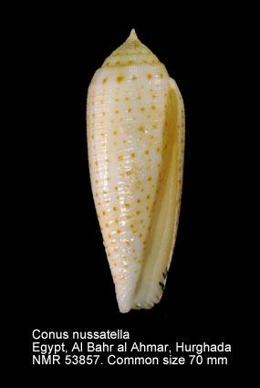 Conus nussatella