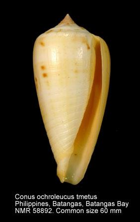 Conus ochroleucus tmetus