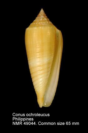 Conus ochroleucus