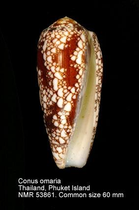 Conus omaria